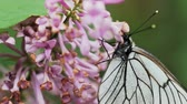 vlinder : Aporia crataegi, Black Veined White butterfly in wild. White butterflies on lilac flower. Slow motion 240 FPS