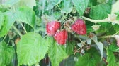 red raspberry on a branch in the rain
