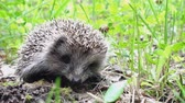 omurga : Wild hedgehog walks on green grass. Hedgehog in the nature Stok Video