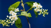 Bird-cherry flower blooming time lapse. Blue background Stock Footage