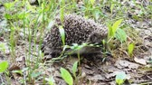 грызун : Wild hedgehog walks on green grass. Hedgehog in the nature Стоковые видеозаписи