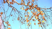altın : autumn birch branch against the blue sky Stok Video