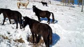 gras : horses graze in the winter on a snowy slope