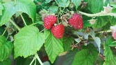 antioxydant : red raspberry on a branch in the rain