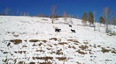 たてがみ : horses graze in the winter on a snowy slope