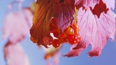 cores vibrantes : Red viburnum leaf and berries on blue sky background