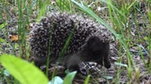 jeż : Wild hedgehog walks on green grass. Hedgehog in the nature Wideo