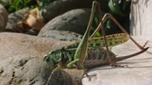 sprinkhaan : Big green Grasshopper on the snone Stockvideo