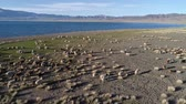 inner journey : Herd of sheep grazing near Mongolian lake Uureg Nuur Stock Footage