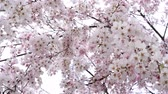 virágzik : Weeping cherry blossoms swaying in the wind Stock mozgókép