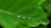 スローモーションの : Taro leaves. Water droplets. 4x slow motion