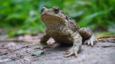 shallow depth of field : Closeup of the frog makes a swallowing motion