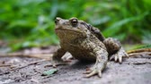 shallow depth of field : The toad swallows the insect, alternately winking the eyes