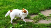 cão de raça pura : Lovely dog ??looking for a treat and looking at the camera, funny Jack Russell