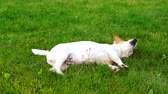cheirando : Cute puppy Jack Russell lying on the green grass