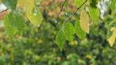 ameixa : wet green and yellow leaves of a plum tree with raindrops on twig in forest in autumn rain