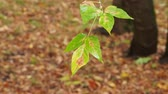 hinta : twig with wet leaves of maple