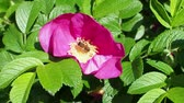 gomos : dog rose rose