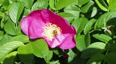 gomos : dog-rose plant