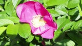 gomos : bee collects pollen from stamens of dog-rose plant
