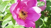 yellow dog : pink flower of dog rose