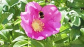gomos : bumblebee collects pollen from pink bloom of dog rose