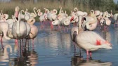 provence : Pink flamingos in the Camargue in France