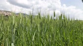 umbrie : Cultivation of wheat in Assisi in Italy