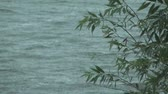 salgueiro :  Branch of a willow against waves of lake during a rain, focus on a branch.