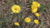 blossoming : Yellow flowers foalfoot a close up. Stock Footage