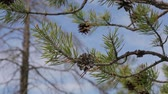 cedro : Branch with pine cones against the blue sky