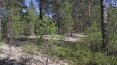 boreal : Typical landscape within the Siberian taiga Stock Footage