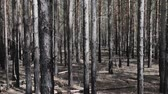 sibiř : Extensive thickets of pine, thicket. Typical Siberian taiga