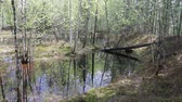 move left : Inside the wild spring taiga. The forest lake is formed during the spring high water Stock Footage