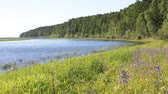 inculto : The coast of the Siberian river Ob. Taiga, wildflowers and plants