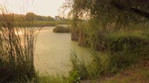 Beautiful pond overgrown with reed. Sunset reflecting in water surface. Tranquil scene Stock Footage