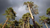 4k footage of dark sky covered with clouds and phigh pine trees in spruce forest at windy day Stock Footage