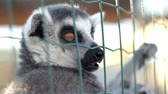 catta : Lemur hanging on grid in the zoo Stock Footage