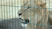 male animal : Lion looks around in the zoo Stock Footage
