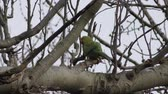 ringed : Parrot - Parakeet on a tree branch.