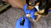 řezačka : Professional doctor veterinarian trimming the claws of a Yorkshire Terrier dog in a veterinary office. Using a professional tool