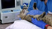 sonography : A professional doctor veterinarian performs an ultrasound examination of a cat in a veterinary office. Close-up, assistant calms and strokes worried cat