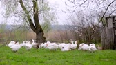 gęś : A herd of white domestic geese grazes on a green field Wideo