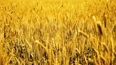 Footage of wheat fields for baisakhi festival.