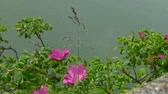 малиновый : Flowering bush rose hips swaying in the wind against the background of the river.