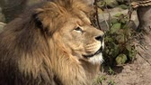 savana : Close up view of lion face