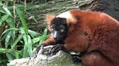 zoo : Red ruffed lemur animal close up view Stock Footage