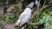 coruja : Snow white owl close up view
