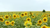 blooming : sunflower field over cloudy blue sky