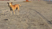 tailândia : Goa, India  February 27, 2015: dogs walking on the beach.